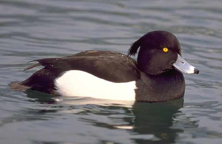 شرکت پرورش صنعتی اردک پکین Pekin Duck و بازی آنلاین زندگی اردک زشت